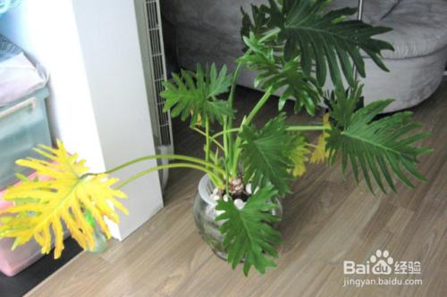 龟背竹叶子发黄是什么原因图片