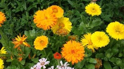 金盏菊养殖方法图片