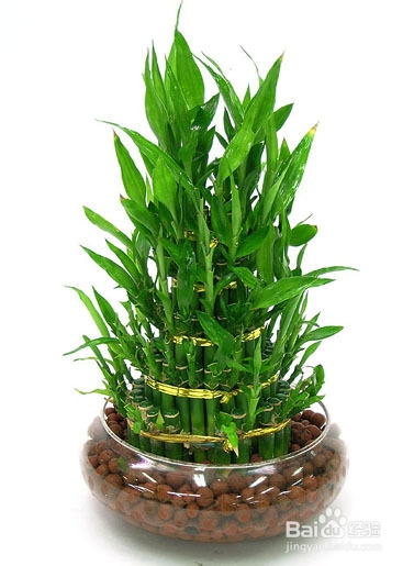 富贵竹黄叶修剪方法图片