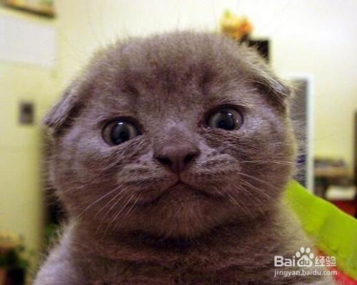 英国短毛猫多少钱一只图片