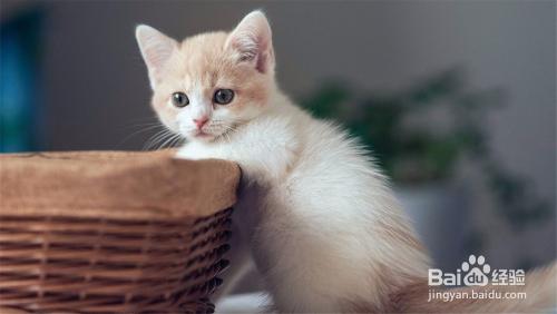 猫咪开始乱抓乱咬东西图片