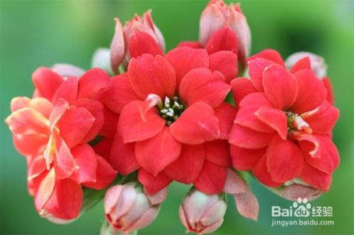 长寿花的扦插方法图片图片