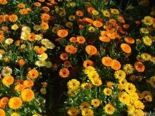 金盏菊养护方法图片