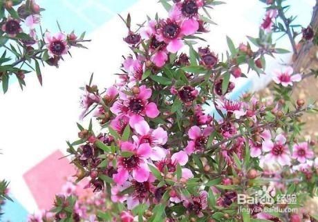 松红梅换盆后叶子干枯图片