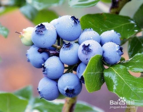 蓝莓种子怎么发芽视频图片