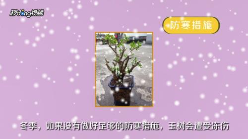 玉树冬天黄叶怎么回事图片