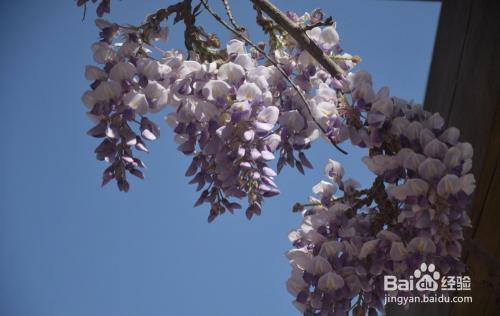 紫藤盆景图片大全大图图片