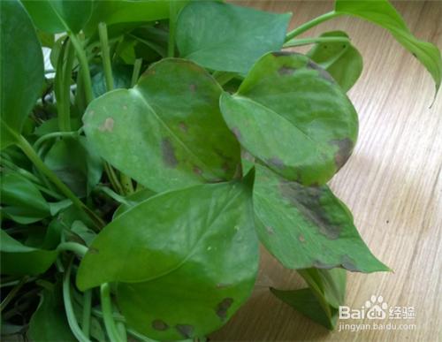冬天绿萝叶子有黑斑是什么原因图片