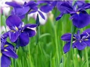 紫色紫罗兰花语寓意图片