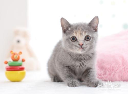 英国短毛猫价格图片