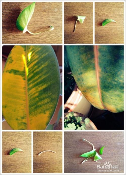 绿植叶子发黄怎么治图片
