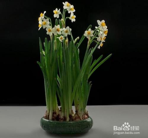 水仙花的繁殖方法图片