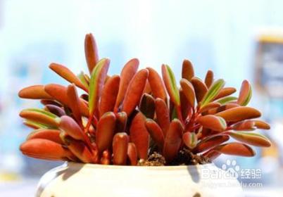 多肉植物养护简介图片
