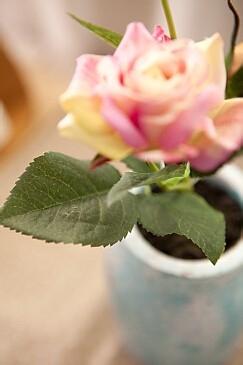 玫瑰花的病虫害防治技术图片