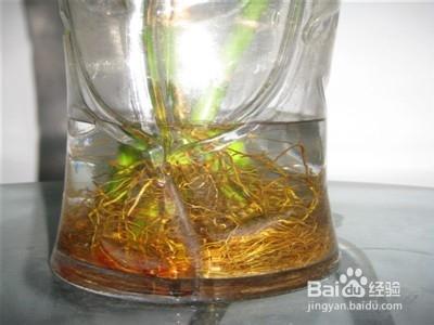 水培富贵竹怎么养图片