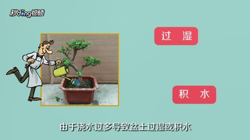 玉树黄叶怎么办图片