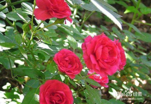 月季花种植方法图片