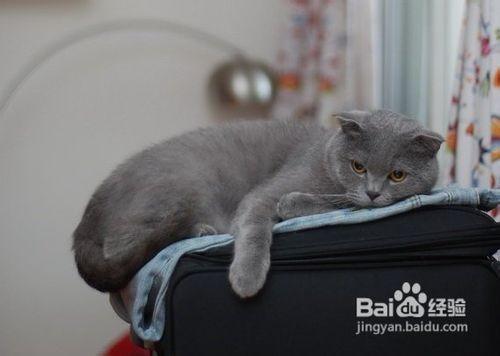 英国短毛猫好养吗图片
