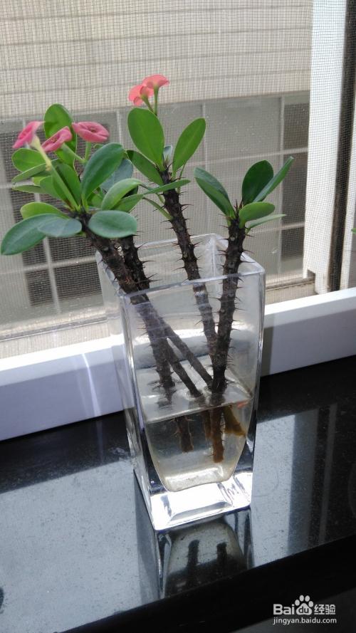 虎刺梅咋繁殖图片