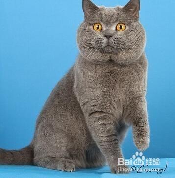 认可的英国短毛猫价格图片