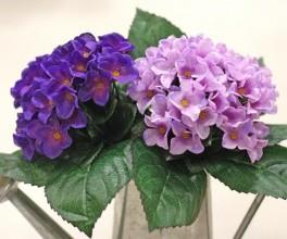 紫色紫罗兰图片
