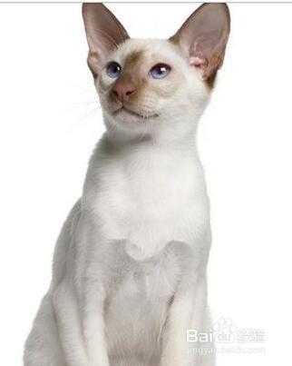 新手养暹罗猫基础知识图片