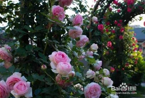 月季花栽培季节图片