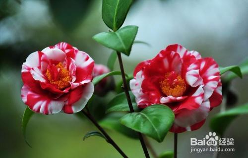 适合室内的开花植物图片