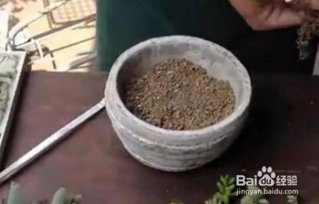 多肉植物口笛的养护技巧图片
