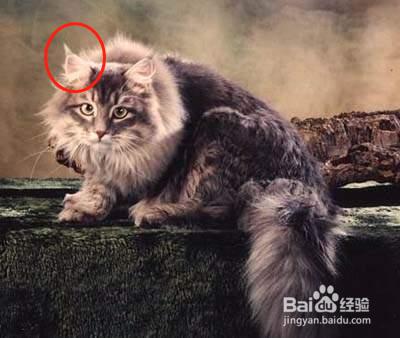 缅因猫一个月照片图片