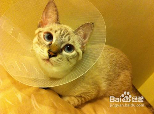 暹罗猫感冒了会有什么症状图片