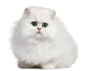 波斯猫图片 价格图片
