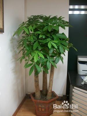 富贵树的养殖方法图片图片