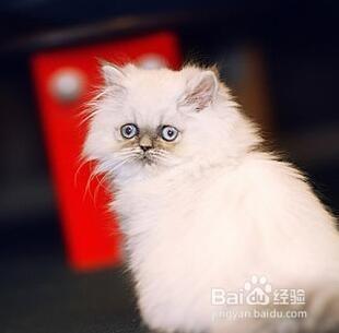 齐全的英国短毛猫价格图片