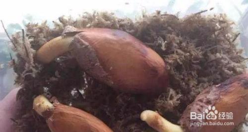 榴莲种子发芽了怎么种图片