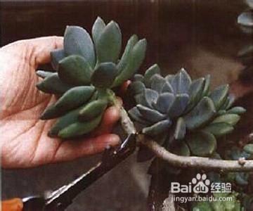 多肉植物水培方法图片