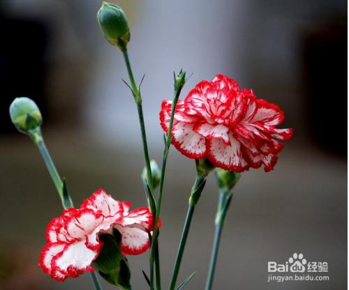 康乃馨种子怎么种植方法图片