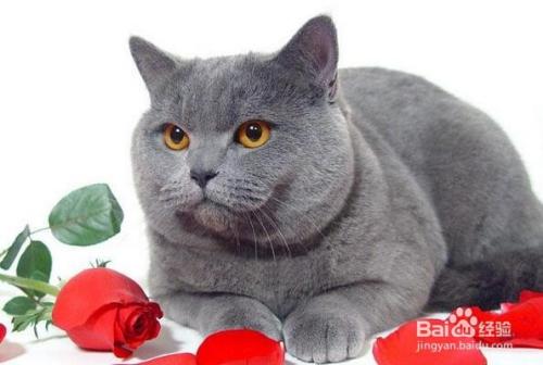 推荐的英国短毛猫价格图片