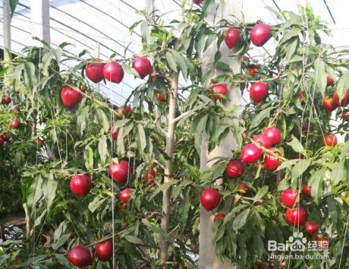 大棚油桃苗有哪些新品种