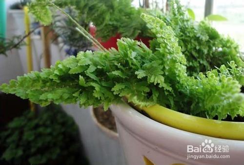 波士顿蕨盆栽图片