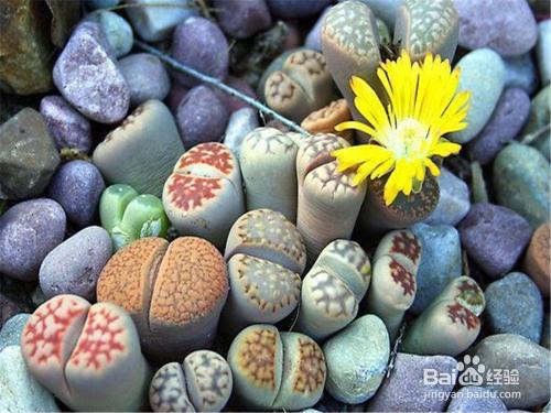 多肉植物生石花怎么养图片