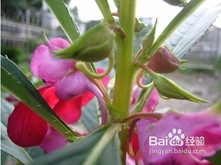 凤仙花有毒吗图片