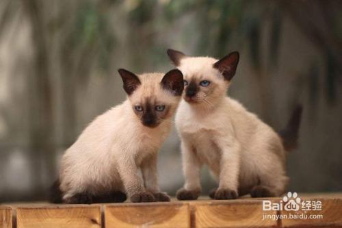暹罗猫多少钱一只图片