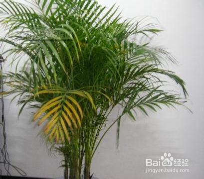 散尾葵和凤尾竹的区别图片