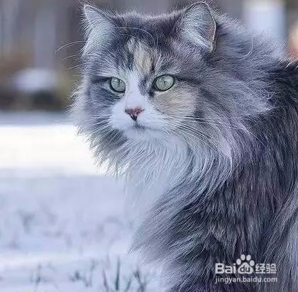 缅因猫一般长多大图片