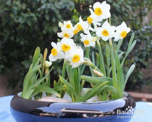 水仙花的修剪方法图片