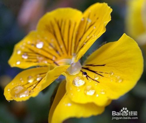 紫罗兰花花语图片