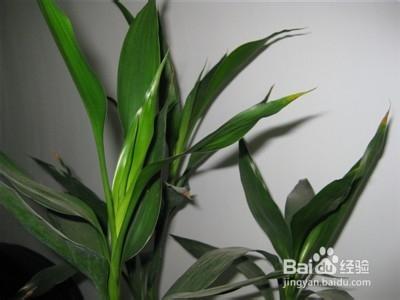 水培富贵竹多久换一次水图片