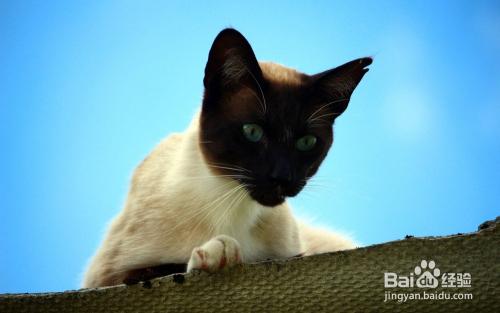 暹罗猫价格图片