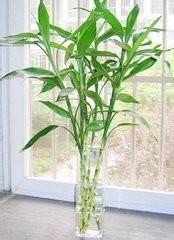 养富贵竹的方法图片